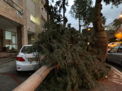 עץ קרס בשדרות ח״ן רחובות |