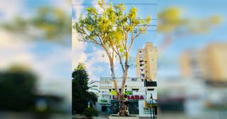 עץ האקליפטוס החולה   צילום: דוברות עיריית רחובות